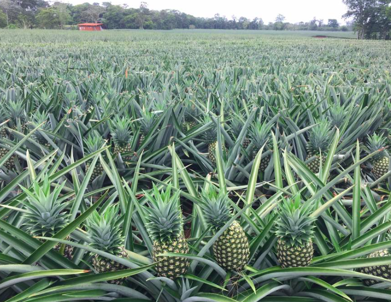 Costa Rica Pineapple Plantation Tour