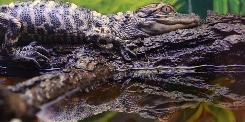Image of baby alligator