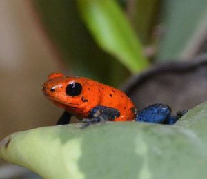 Image of poison arrow frog