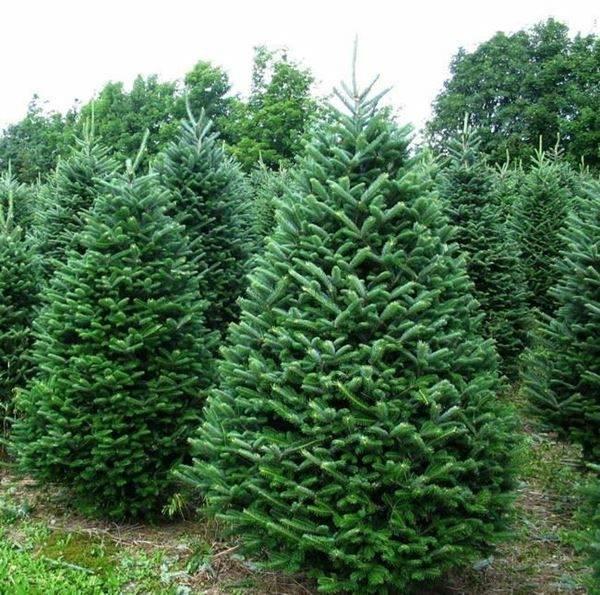 Fresh Christmas Trees.Farm Fresh Christmas Trees Opens In Brandon Siouxfalls